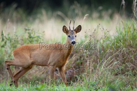 the buck deer in the wild