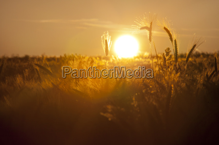 sun setting behind field of wheat