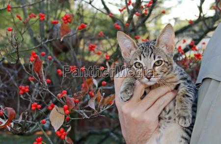 inlaendischen serval savannah kaetzchen