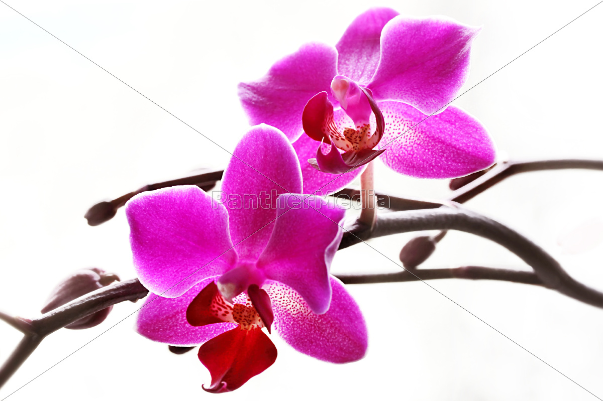 Orchideen in pink orchideen in rosa lizenzfreies bild lizenzfreies bild 10439033 orchideen in pink orchideen in rosa altavistaventures Choice Image