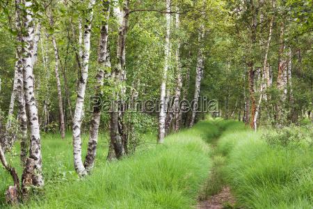 pfad durch birkenmoorwald im duvenstedter brook