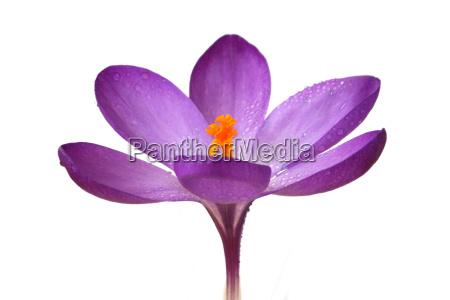 crocus violet orange isolated white flower