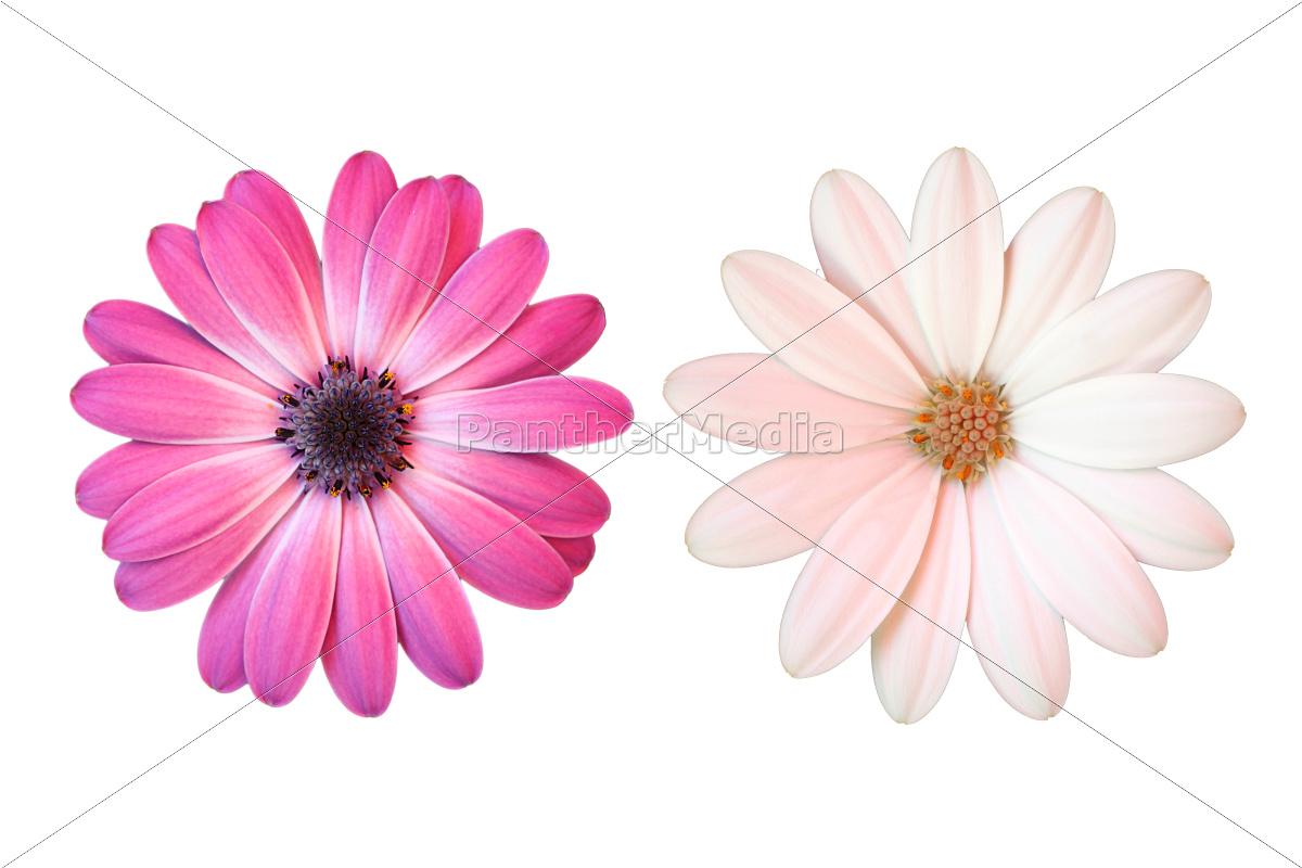 Lieblings Rosa und weiße Margerite auf weißem Hintergrund - Lizenzfreies &RU_42