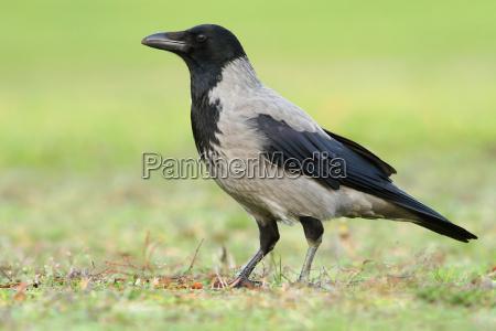 die nebelkraehe corvus corone cornix wildlife