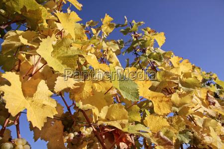 bright yellow vine leaves