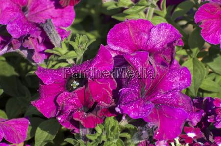 rosa blumen und bluetenblaetter mit tautropfen