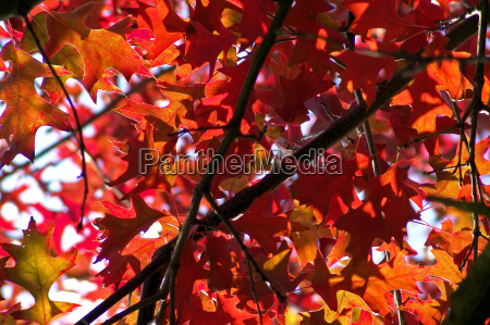 quercus palustris 7212