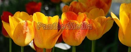 blumenband aus tulpen