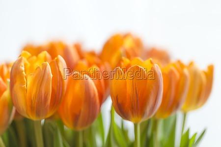 gelbe tulpen vor weissem hintergrund