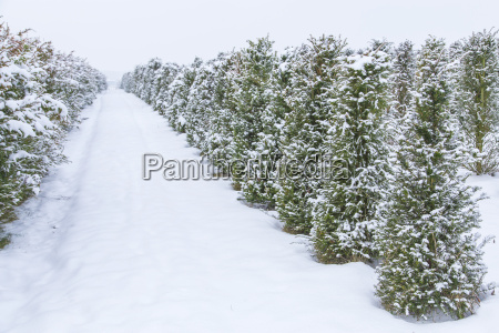 junge tannenbaeume im schnee