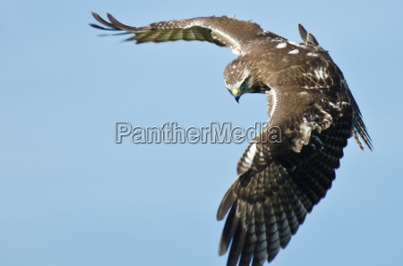 unreife red tailed hawk auf der