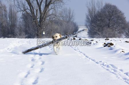 labi im schnee