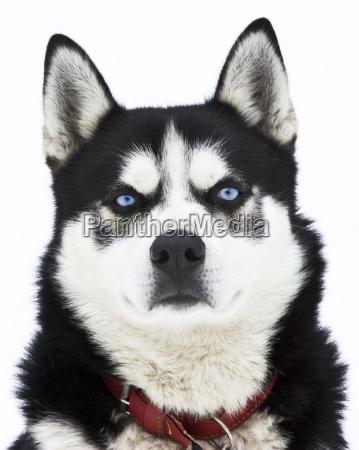 portrait eines husky hund