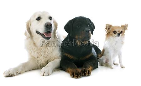 drei hunden