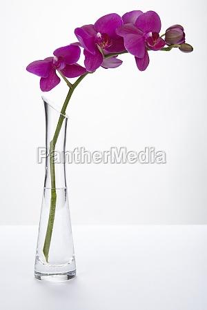 lila orchidee in einer vase