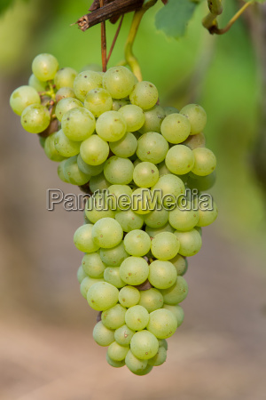 gruene trauben 2