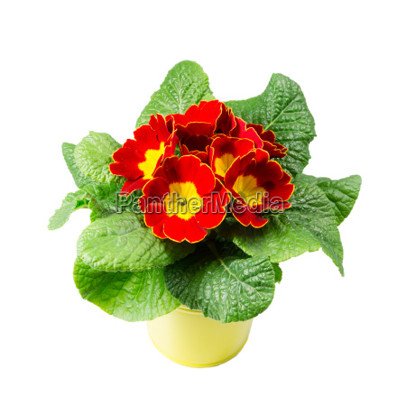 red primrose in pot