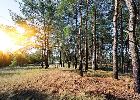 herbst in einem kiefernwald