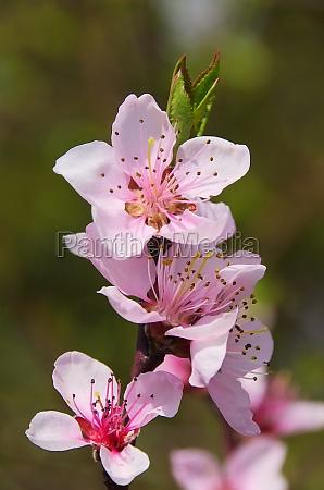 pfirsichbluete flower from peach tree