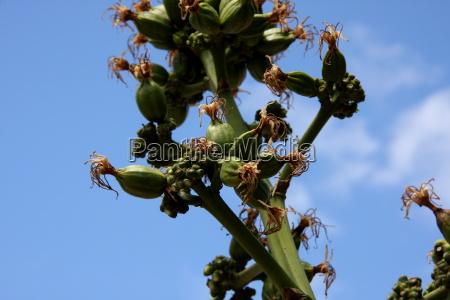 blue flower plant green cuba firmament