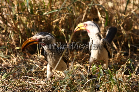 Gelbschnabeltoko, Hornvogel, Schnabel, Nashornvogel, Vogel, Südafrika - 10854970