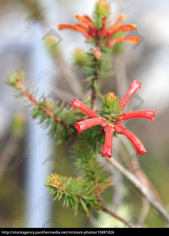 Blume, Blumen, Rot, Pflanze, Pflanzen, Afrika - 10881826