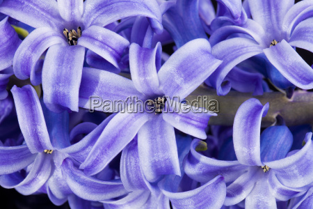 isolated cluster of flower violet hyacinth