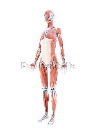 3d uebertrug illustration des weiblichen muskelsystems