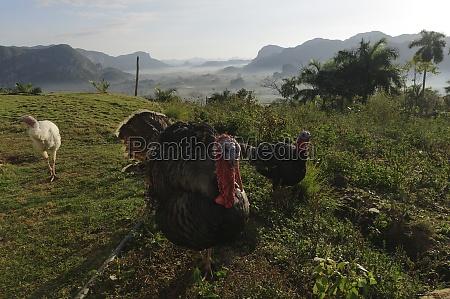 turkeys meleagris gallopavo