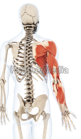 3d rendered illustration of the arm