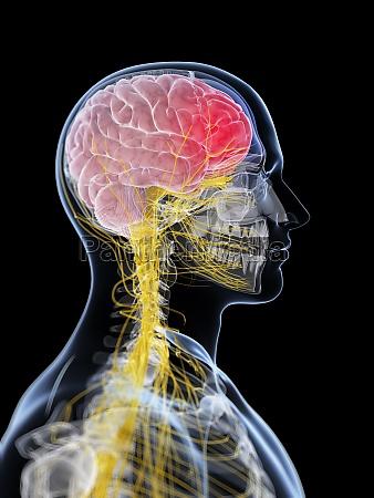 3d gengivet illustration af hovedet