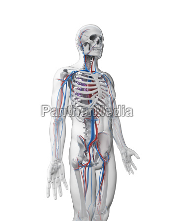 3d rendered illustration vascular system