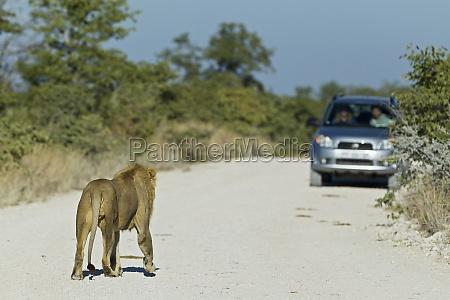 lion male panthera leo and a