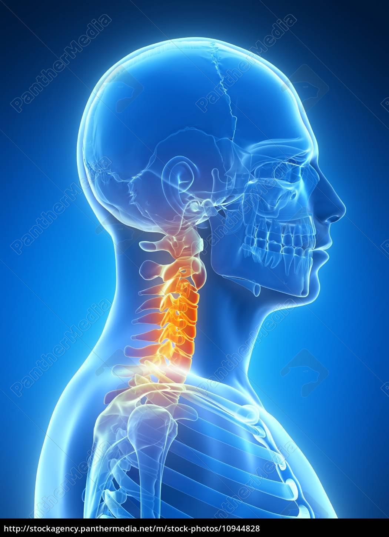 3d gerenderten bild - skelett-hals - Lizenzfreies Foto - #10944828 ...