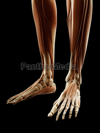 medical illustration of the legfoot muscles