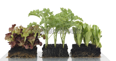 vegetable seedlings in block culture