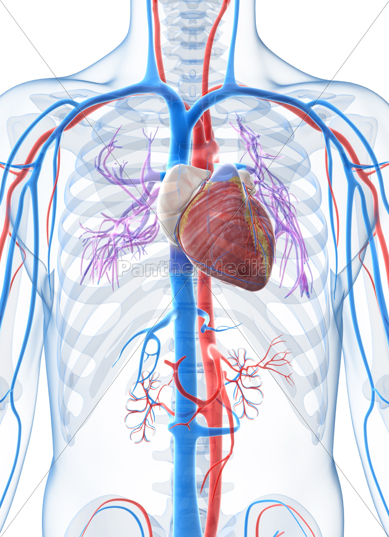 3d übertrug abbildung des menschlichen gefäßsystems - Lizenzfreies ...