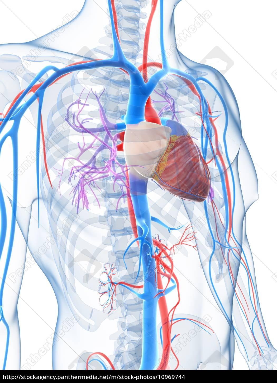 3d gerenderten bild des menschlichen gefäßsystems - Lizenzfreies ...