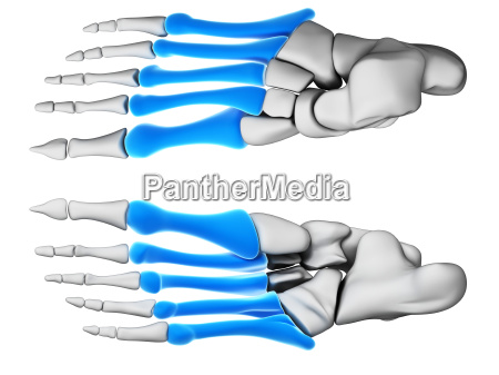 3d rendered illustration metatarsal bones