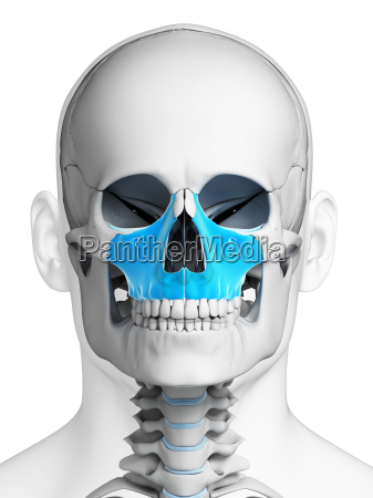 3d rendered illustration maxilla bone