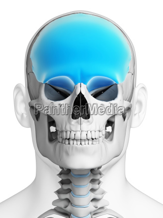 3d rendered illustration frontal bone