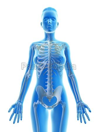 illustration des weiblichen skeletts