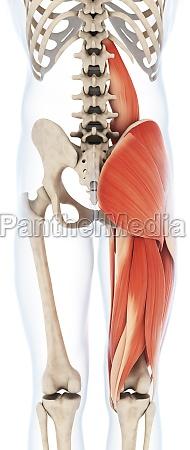 3d dargestellte illustration der oberschenkelmuskulatur