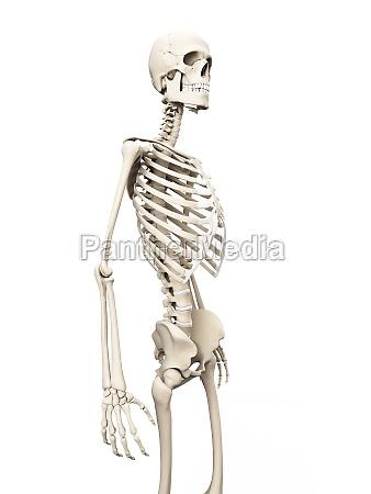 medizinische illustration des skeletts