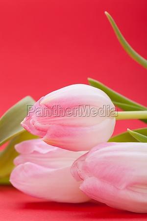 rosane tulpen als nahaufnahme als postkarte