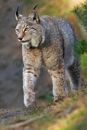der eurasische luchs oder nordluchs lynx