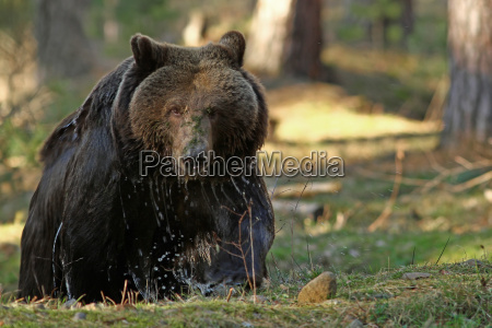der grizzly ursus arctos horribilis