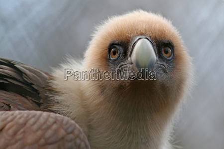 the griffon vulture gyps fulvus
