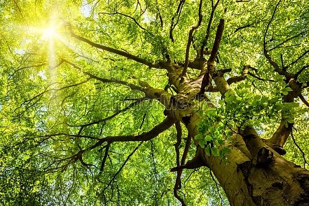 sun shines through old beech