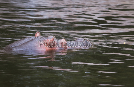 hippo oder hippopotamus amphibius in wasser